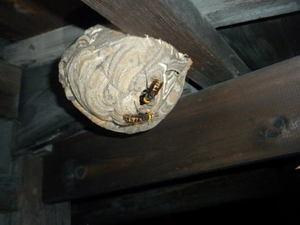 コガタスズメバチの巣 福島市、2011年.jpg