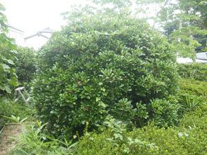 コガタスズメバチの巣があった庭木のモッコク(桑折町、2014年7月16日).jpg