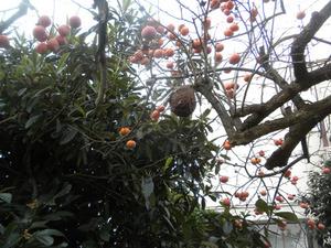 コガタスズメバチの巣がカキの枝にぶらさがる 福島市、11月上旬.jpg