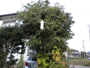 コガタスズメバチの巣がキンモクセイの樹内に(福島県伊達市、2010年10月上旬).jpg