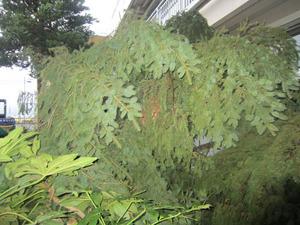 コガタスズメバチの巣が伐採したマツの枝葉に隠れて 会津若松市、9月下旬.jpg
