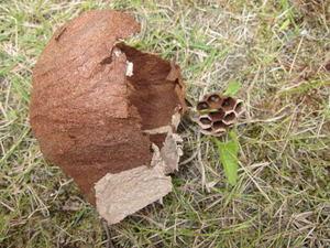 コガタスズメバチの巣と巣盤 福島県大沼郡、2011年.jpg