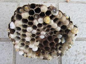 コガタスズメバチの巣の巣盤は2段 福島市、2011年.jpg