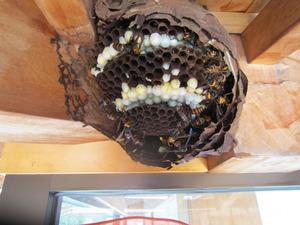 コガタスズメバチの巣の巣盤は4段 会津、9月11日.jpg