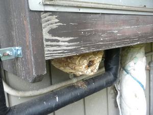 コガタスズメバチの巣は出窓の下 福島県岩瀬郡、10月31日.jpg