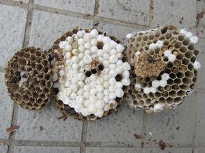 コガタスズメバチの巣は巣盤が3段 米沢市、9月中旬.jpg