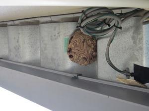 コガタスズメバチの巣は直径17cm 米沢市、9月中旬.jpg