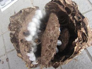コガタスズメバチの巣は直径18cm、巣盤は3段 西白河郡、9月上旬.jpg