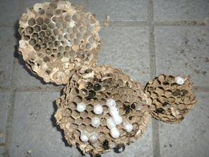 コガタスズメバチの巣は直径19cmで巣盤3段 福島県岩瀬郡、10月31日.jpg