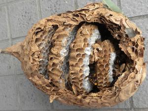 コガタスズメバチの巣は直径20cm、巣盤4段 福島市、10 月下旬.jpg