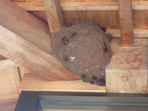 コガタスズメバチの巣上で巣作りに励む働き蜂たち 会津、9月11日.jpg