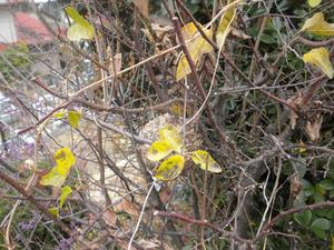 コガタスズメバチの巣上に1匹の働き蜂が作業中 郡山市、11月下旬.jpg