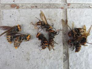 コガタスズメバチの新女王蜂(左),雄蜂(中),働き蜂(右) 会津、9月11日.jpg