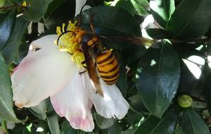 サザンカの花に来たオオスズメバチ.jpg