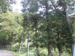 スズメバチのでかい巣が道路真上のスギの枝葉に いわき市、9月下旬.jpg