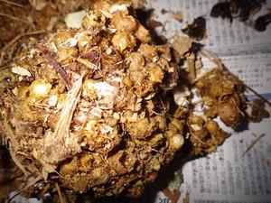 スズメバチの古い巣の中にあるマルハナバチの巣を駆除(福島県三春町).jpg