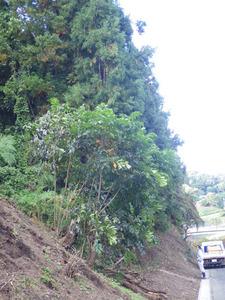 スズメバチの巣があった杉の木の全貌(福島県).jpg