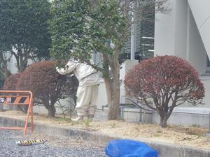 スズメバチの巣が天栄村役場のドウダンツツジに(天栄村、2014年10月 2日).jpg