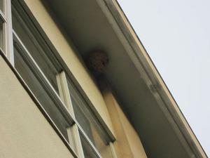 スズメバチの巣はキイロスズメバチの引っ越し巣 郡山市、10月中旬.jpg