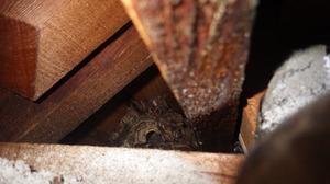 スズメバチの巣は屋根裏(須賀川市).jpg
