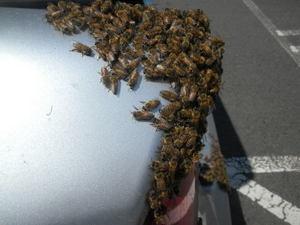 セイヨウミツバチの分蜂群(郡山市、2011年6月6日).jpg