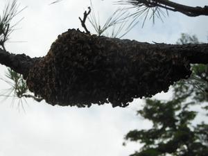 セイヨウミツバチの群れはマツに蜂球を作ったまま 福島県田村郡、8月1日