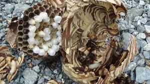 ソフトボール大ほどあるコガタスズメバチの巣を駆除(郡山市).jpg