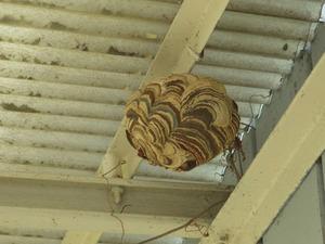 ソフトボール大ほどあるコガタスズメバチの巣(郡山市).jpg