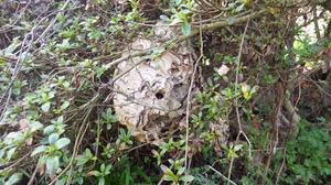 ツツジの木に昨年作られたコガタスズメバチの巣(田村市).jpg