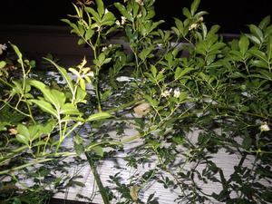トックリ型のコガタスズメバチの巣がバラの枝葉に隠れています(郡山市).jpg