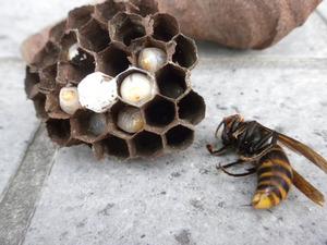 トックリ型の巣内は蛹になり始めたばかり(郡山市、2010年6月27日).jpg