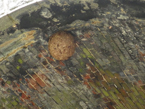 トンネルの天井にキイロスズメバチの巣(福島県).jpg