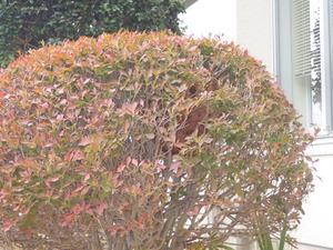 ドウダンツツジに隠れるキイロスズメバチの巣(天栄村、2014年10月 2日).jpg