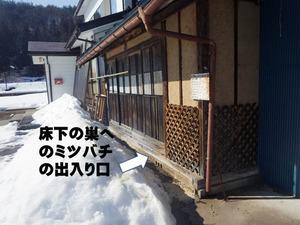 ニホンミツバチが床下で出入り(喜多方市、2014年3月17日).jpg