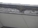 ニホンミツバチたちが2階の屋根のハフにベッタリ(郡山市、2010年8月中旬).jpg