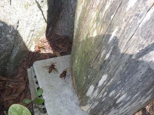 ニホンミツバチの巣箱を襲っているオオスズメバチの軍団(いわき市).jpg