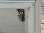 ヒメスズメバチがコアシナガバチの巣を襲撃(須賀川市、2010年8月下旬).jpg
