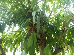 ミツバチが庭木に蜂球(郡山市、2015年6月10日).jpg