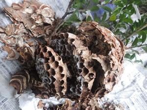 三春町でオオスズメバチに襲われたコガタスズメバチの巣.jpg