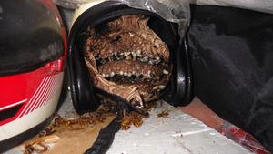 三春町でヘルメットに作ったスズメバチの巣.jpg