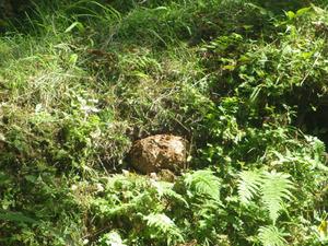 三春町で土の中からはみ出したスズメバチの巣.jpg