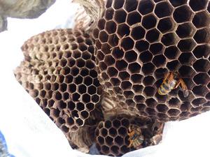 三春町で駆除したスズメバチの引っ越し巣.jpg