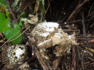 三春町で駆除したスズメバチの母巣.jpg