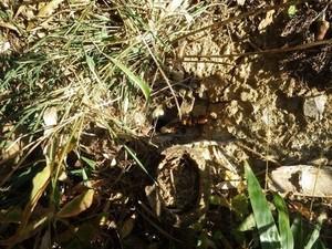 三春町のオオスズメバチの巣.jpg