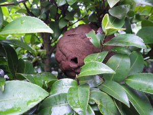 二本松市で庭木にスズメバチの巣.jpg
