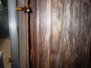 伊達市でスズメバチが出入りする壁の隙間.jpg