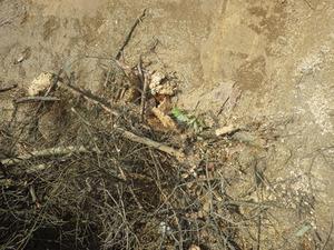 伊達市でバラバラになったスズメバチの巣.jpg