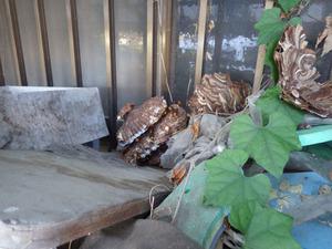 伊達市で叩き落とされたスズメバチの巣.jpg