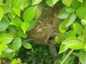伊達市で庭木のスズメバチの巣.jpg
