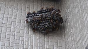 伊達市で蜂の巣駆除.jpg